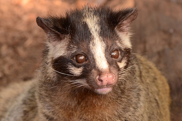 ハクビシンはこんな動物!生態や特徴を徹底解説