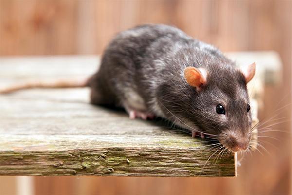 ネズミ の フン 画像